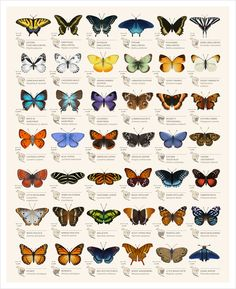 Butterflies of North America Art Print by HellofromtheMoon
