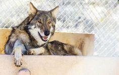 Garoto adota 'cãozinho' abandonado e descobre que é um lobo