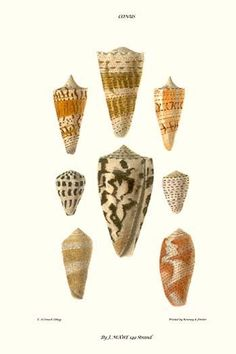 cone shells . High quality vintage art reproduction by Buyenlarge. One of many rare and wonderful images brought forward in time. I hope they bring you pleasure each and every time you look at them.