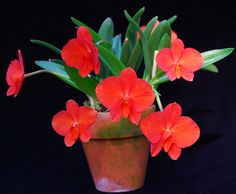 Sophronitis coccinea 'Floriferous' by salabat, via Flickr, Sophronitis coccinea 'Floriferous'    Believe it or not, a first-bloom seedling form Tokyo Orchid Nursery, via Cal-Orchid. 7 flowers while still in a 2.5 Inch pot.