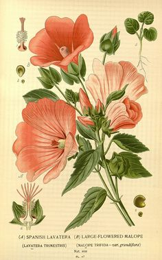 n149_w1150 by BioDivLibrary on Flickr. Spanish Lavatera - Large Flowered Malope. Favourite flowers of garden and greenhouse /. London and New York :Frederick Warne co.,1896-97.. biodiversitylibrary.org/page/36442410