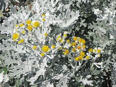 Find Silver Dust Dusty Miller (Senecio cineraria 'Silver Dust') in Sheboygan Falls Kohler Oostburg Plymouth Elkhart Wisconsin WI at Caan Floral & Greenhouse (Silver Ragwort, syn. Growing Seeds, Growing Plants, Silver Plant, Types Of Soil, Soil Type, Full Size Photo, Low Maintenance Plants, Dusty Miller, Drought Tolerant