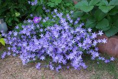 _1130983.jpg 綺麗で可憐な花ですネ、名前は何て言う花でしょう。