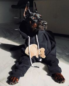 A Midsomer Night's Dream Cute Funny Animals, Cute Baby Animals, Animals And Pets, Doberman Pinscher Dog, Doberman Dogs, Dobermans, Blue Doberman, Cute Dogs And Puppies, Big Dogs