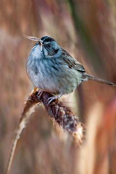 Louisiana Swamp Sparrow