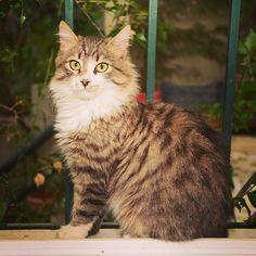 New cat in the neighborhood! The prettiest little fur ball! #catsofinstagram #feedthestrays #mycatisprettierthanyours #newfriends