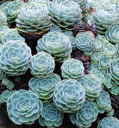 Echeveria, Savegre | Flickr - Photo Sharing!