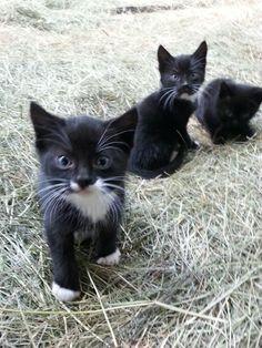 ADORABLE tuxedo kittens!