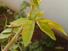 Rose Plant's leaf