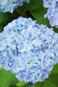 A Country Farmhouse: Hydrangeas-This is my favorite flower!  Of course it is in blue!
