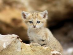 Sand Cat Kittens Filmed in the Wild for First Time in Morocco – Cats. Rare Animals, Funny Animals, Funny Cats, Adorable Animals, Cute Kittens, Felis Margarita, Sand Cat, Rare Cats, Kitten Photos