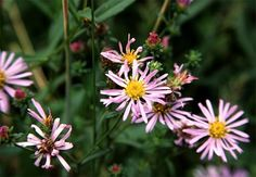 California Aster (Symphyotrichum chilense)
