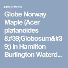 Globe Norway Maple (Acer platanoides 'Globosum') in Hamilton Burlington Waterdown Dundas Ontario Ontario ON at Connon Nurseries CBV