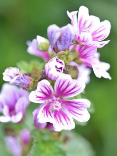 Malva is an easy-care perennial that develops masses of pink, open-face hibiscus-like flowers delicately etched with dark purple stripes. This perennial is a fast-growing perennial that prefers full sun but is tough enough to thrive in partial shade. Perennial Geranium, Cranesbill Geranium, Perennial Gardens, White Flowers, Beautiful Flowers, Purple Flowers, Types Of Soil, Soil Type, Cottage Garden Plants