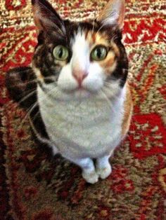 My daughters calico cat, mommie.