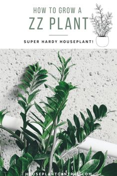 Care for ZZ plant | All about Zamioculcas zamiifolia | Houseplant Central
