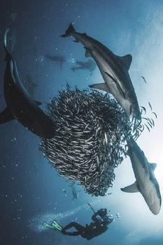 wolverxne:  SHARKBALL!!! | by: { Morne Hardenberg }