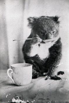 Pet Koala drinks from a spoon, 1900