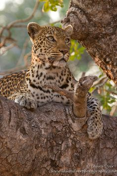 A female leopard early morning relaxing in a tree. Her son was also in the tree, capturing her attention at this moment. Large Animals, Animals Images, Animals And Pets, Cute Animals, Wild Tiger, Animal Antics, All About Animals, Cute Animal Pictures, Big Cats