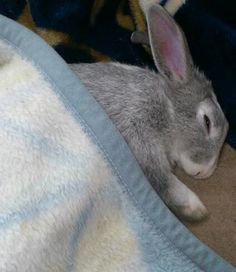 Under the blanket is warm. Bunny likes it ♥