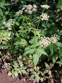 Wild Food Foraging: How to Identify Four Common Edible Plants- Ground elder has long, medium to dark green leaves with fine-toothed edges.