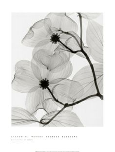 Dogwood Blossoms by Steven N. Meyers. Print from Art.com, $21.99.