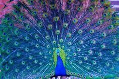 peacock photos - Google Search