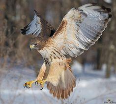 Red Tailed Hawk of Prey Hawk Wings, Bird Wings, Beautiful Birds, Animals Beautiful, Hawk Photos, Hawk Bird, Red Tailed Hawk, Colorful Birds, Tropical Birds