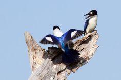Blue Kingfishers in Kakadu National Park. Kakadu is home to one-third of Australia's bird species!