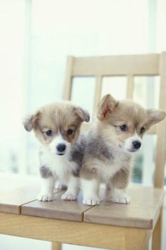 Welsh Corgi Puppies @KaufmannsPuppy