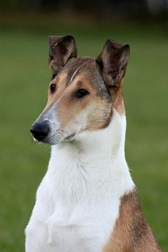 Collie Smooth.....before I die I WILL have and train one of these.