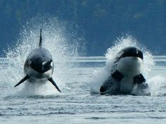 Orcas, wild and hunting, as they should be. Save the Orcas from Captivity!