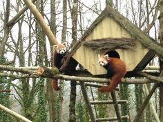 Le Parc Zoo du Reynou a accueilli ses premiers pandas roux et des girafes au mois d'avril 2015