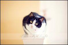 www.portraitsbydenise.com Cats, Tuxedo Cat, Black & White Cat, Pet Photography, Pet Portrait, Cat Portrait, Cat