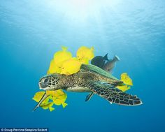 These bright yellow fish offer fellow sea creatures a swim-through valet service that includes the original Turtle Wax.    The turtle is left with sleek new bodywork while the yellow tangs get to feast on the algae growing on its shell.    Photographer Doug Perrine captured the 15 minute cleaning process while diving in seas off Puako, Hawaii, United States.