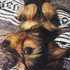 #dachshund #dachshunds #dog #doxie #doxies #pup #puppy #puppies #petstagram #pet #hotdog #adorable #ilovemydachshund #sausagedog #dogoftheday #TECKEL #Bassotto #minidoxie #weeniedog #weenie #wienerdog #instapet#crossbreed #yorkshireterrier #chihuahua
