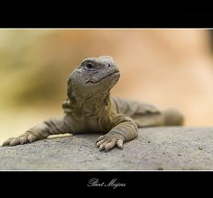 Uromastyx leptieni / Leptiens spiny-tailed lizard