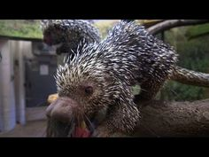 ​Can a Porcupine Shoot Its Quills? - YouTube
