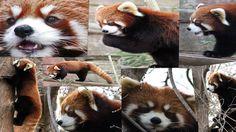 Photo collage of a Red Panda at Columbus Zoo. #RedPanda #RedPandaNetwork #ColumbusZoo
