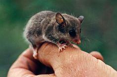 Langer dünner Schwanz und das Halten von Winterschlaf: Diesen Merkmalen verdankt der Dünnschwanz-Schlafbeutler seinen Namen. Das mausgroße Tier lebt in australischen Wäldern. Einige Exemplare leben in Baumhöhlen, die sie mit Blättern auskleiden. Andere mögen es nicht so hoch und bauen sich mit Ästen und Laub ihr Nest auf den Boden. Auf dem Daumen einer Hand befindet sich ein kleines Tier mit großen schwarzen Augen, großen Ohren und langen Tasthaaren an der Schnauze. ; Rechte: Mauritius