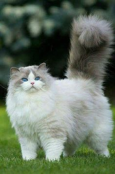 What a proud & regal pluffy Lady we have here! So gorgeous & I think she Knows it! Looks like she just had a shampoo, creme rinse, & blow dry! The deep blue eyes suggest she's a lovely Rag Doll? Such a huge tail plume. All the floofy fur makes her face tiny!