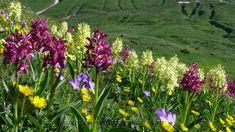 Un prato di orchidee (Orchis sambucina) nel Parco Orsiera-Rocciavrè #myValsusa 08.06.16 #fotodelgiorno di Dante Alpe