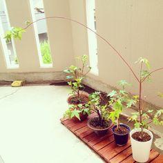 mugiyukiさんのお部屋写真 盆栽 bonsai