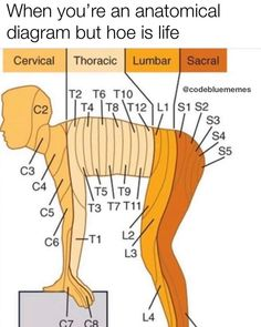 Learn all about cervical, thoracic, lumbar, and sacral anatomy!You can find Anatomy and more on our we. Muscle Anatomy, Body Anatomy, Skull Anatomy, Nursing School Notes, Nursing Schools, Medical Anatomy, Human Anatomy And Physiology, Nursing Tips, Funny Nursing