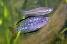 Murray River Rainbowfish (Melanotaenia fluviatilis)