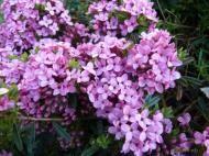 Daphne cneorum - lýkovec vonný Plants, Pictures, Plant, Planets
