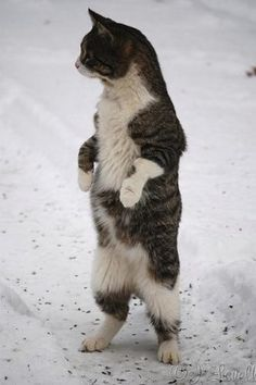 standing cat - Google Search