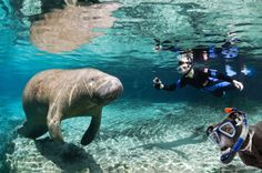 First Calvin dreamed about befriending a manatee while snorkeling in Florida (he named him Hank)...