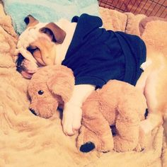 Bulldog cuddling stuffed animal while wearing a blue hoodie Animal Books, My Animal, Pugs, Baby Animals, Cute Animals, Sleepy Dogs, Make You Smile, Dog Pictures, Puppy Love