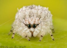 Jumping Spiders photowebsite